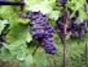 LA VIGNE ET LA FILIÈRE VITIVINICOLE EN FRANCE, C'EST 558000 emplois directs et indirects 7,6 Md€ d'exportations 16% de la production de vins de la planète