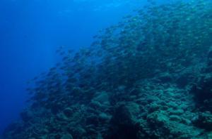 Figure 4. Un immense banc de poissons-lapins (Siganus), originaires de la mer Rouge, en Méditerranée orientale. Ces herbivores voraces broutent pratiquement tout végétal, transformant les fonds en une sorte de désert minéral.