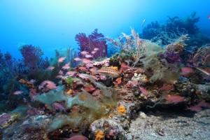 Figure 2. Ce paysage sous-marin, très prisé des plongeurs, se nomme le «coralligène». Les algues calcaires rouges qui forment un concrétionnement sont menacées par l'acidification. Les gorgones (à l'arrière-plan) sont déjà atteintes par le réchauffement, avec des pics de mortalité lors des années chaudes.